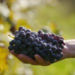 Grape Seed Extract vs. Resveratrol